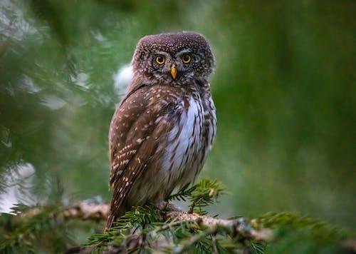 Selective Focus Photo of a Eurasian Pygmy Owl Looking at the Camera