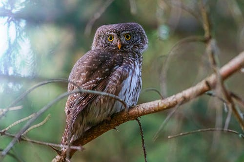 Brown Eurasian Pygmy Owl Perched on a Tree Branch