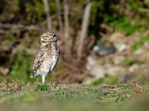 Selective Focus Photo of a Brown Little Owl