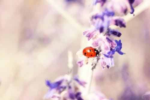 Lady Bug on Purple Flower