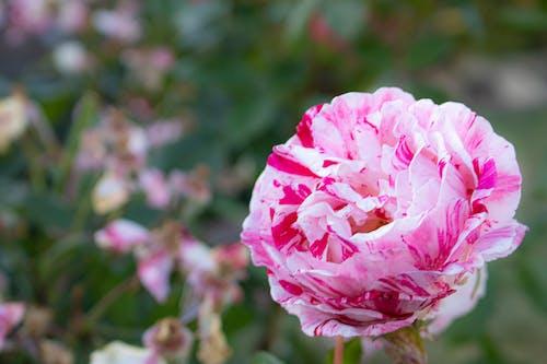Immagine gratuita di fiore, fiore rosa, giardino, giardino botanico