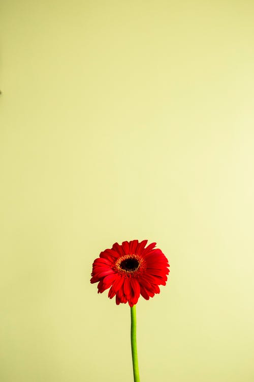 Bright blooming red gerbera on yellow background