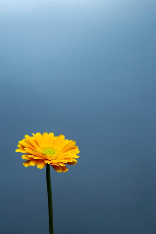 From above of bright blooming Gerbera with delicate petals growing on thin stem near shiny blue wall