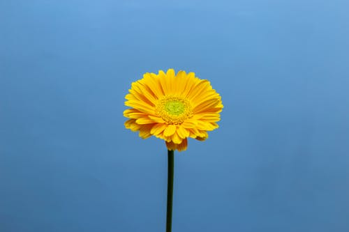 Bright blossoming yellow Gerbera on thin stem on blue background