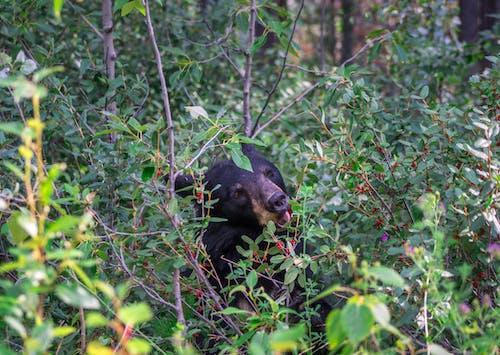 Free stock photo of bear, berries, black bear