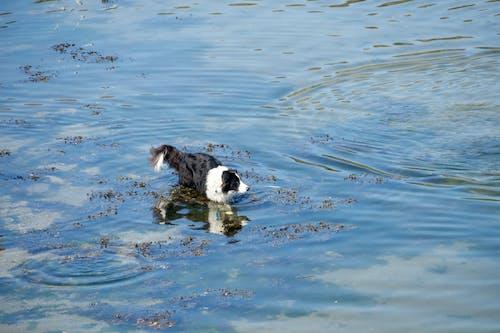 Free stock photo of animal de compagnie, baignade, bicolore, chien