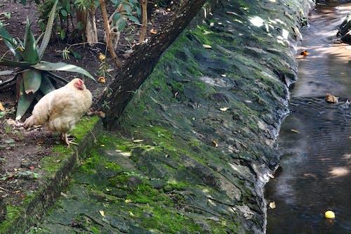 Free stock photo of chicken, stream