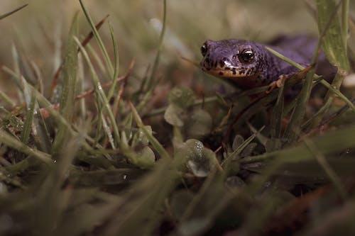 Free stock photo of amphibian, reptile, Salamander
