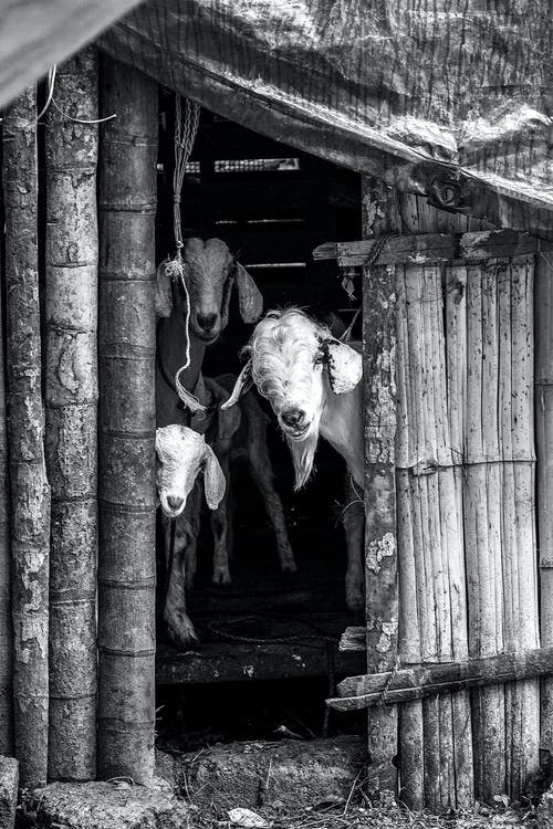 Black and white domestic goats standing in shabby wooden barn in rural village