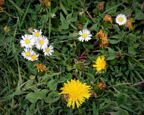Free stock photo of Alpen, blumen. flora, Blumenwiese