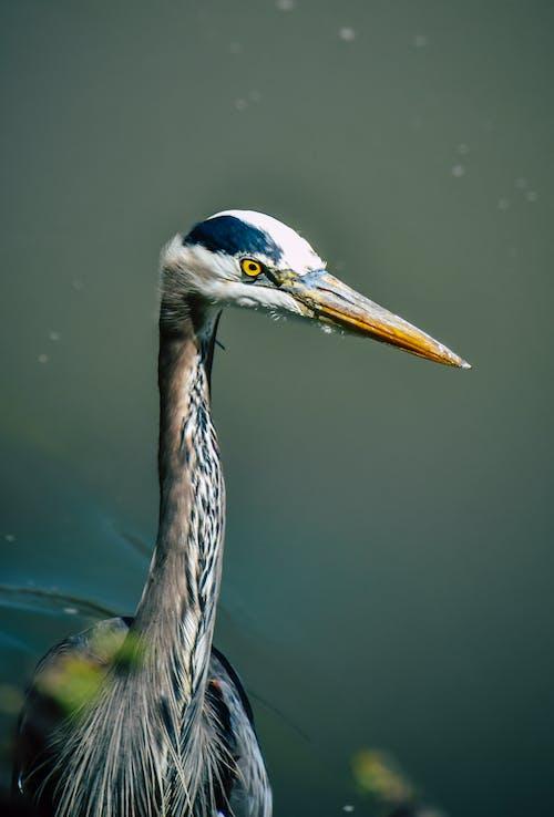Calm gray heron with yellow eyes