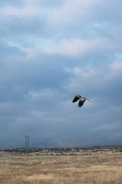 Wild heron flapping big wings while flying over dried grass against cloudy sky