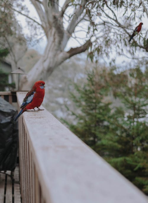 Red and Blue Bird on White Concrete Fence