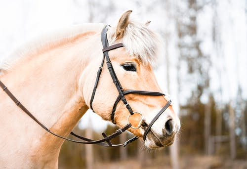 Side view of white horse muzzle with dark eye in bridle standing on blurred background of trees
