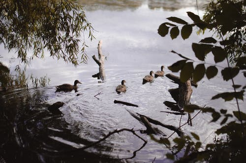Ducks floating in pond in forest
