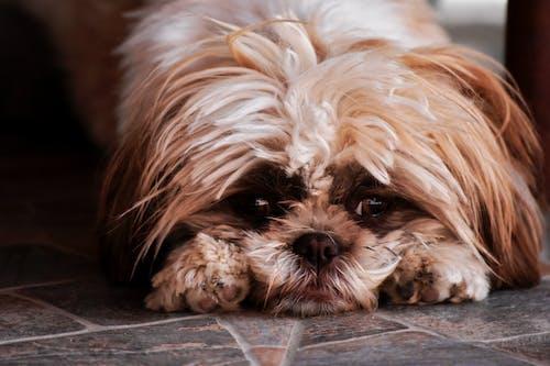 Fluffy purebred dog lying on floor