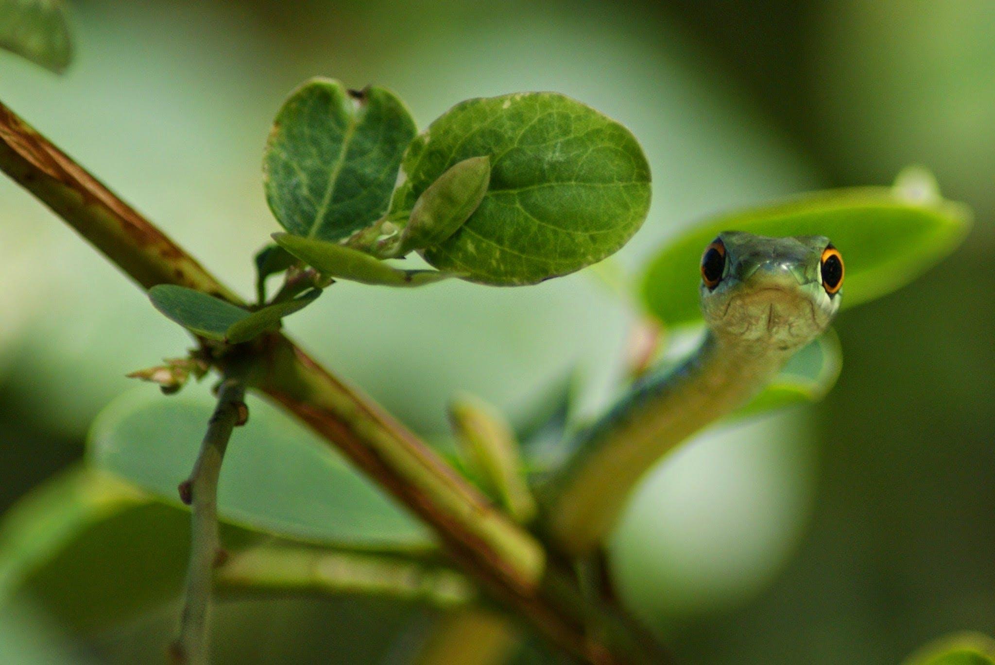 Základová fotografie zdarma na téma had, hadí oči, rodný zelený had, stromový had