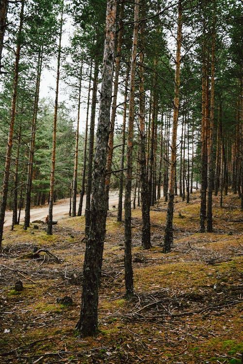 Tall Trees Near A Dirt Road
