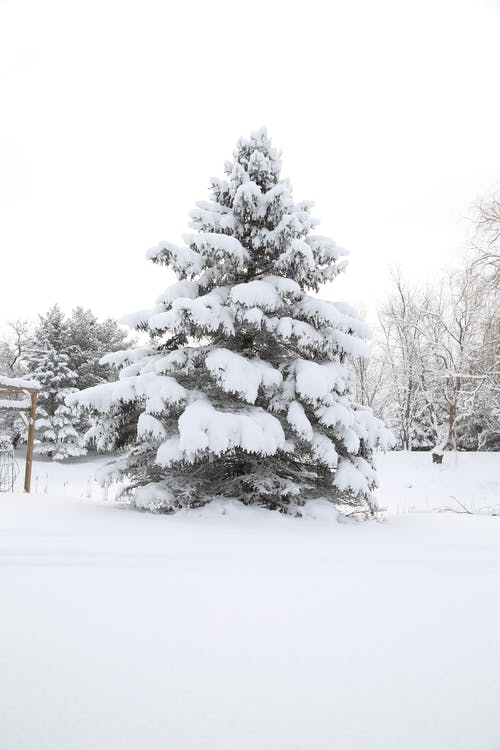 Free stock photo of tree evergreen spruce snow winter white