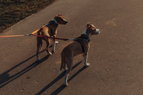 Purebred dogs with leashes standing on asphalt path