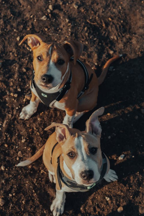 From above of obedient loyal purebred Plummer Terrier dogs in harness sitting on ground and looking at camera