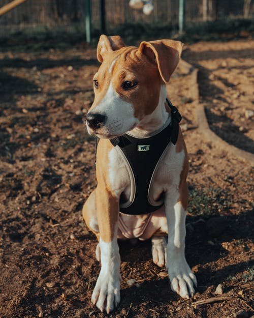 Purebred dog with harness sitting on ground