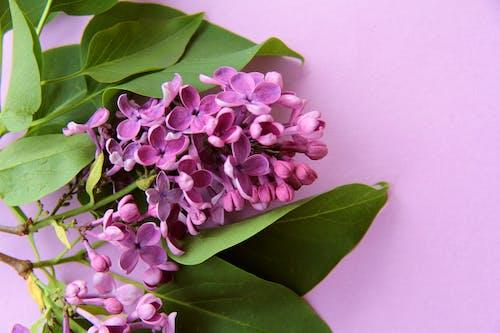 Free stock photo of fialová, květiny, pozadí