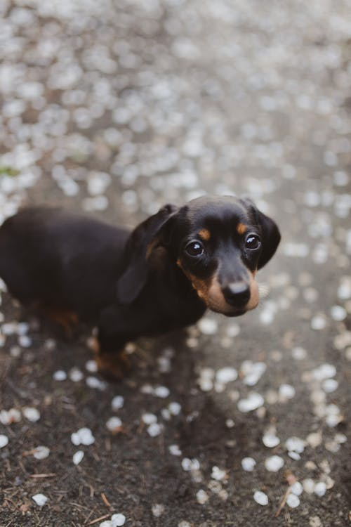 Adorable Dachshund puppy on dry terrain with flower petals