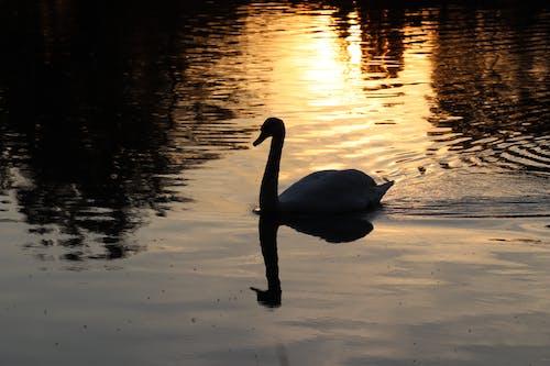 Free stock photo of swan
