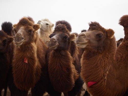 Different curious camels standing under white sky