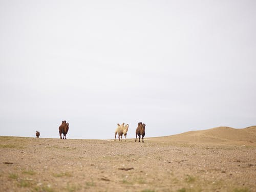 Herd of various purebred domestic camels walking on sandy terrain in desert under white sky in daylight