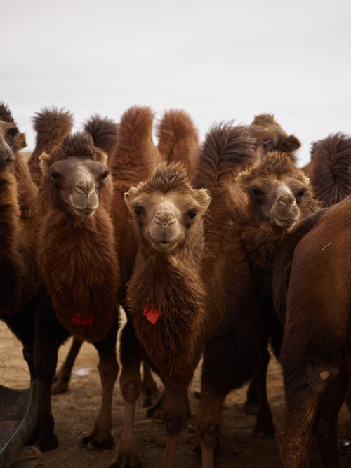 Flock of curious purebred brown camels with thick coat standing on sandy area and looking at camera under white sky