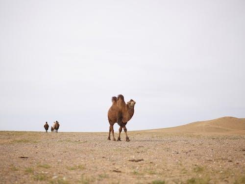 Graceful camels walking in desert in afternoon