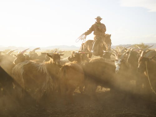 Confident Mongolian cattleman in traditional cloth riding horse and chasing herd of goats with rope in prairie under blue sky with dust clouds in back lit