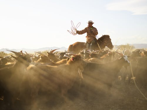 Herd of goats grazing in yellow steppe with adult Mongolian horseman