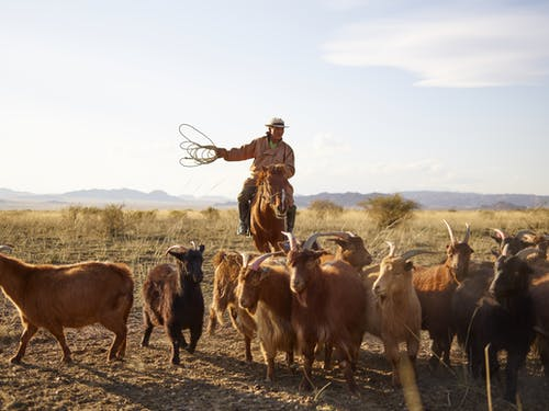 Adult Mongolian horseman grazing herd of goats in steppe