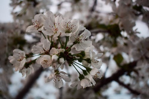 Free stock photo of blossom tree, blurred backgound, cherries, cherry blossom