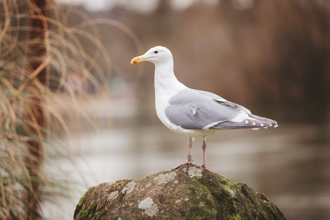 Sea Gull Perched On Rock