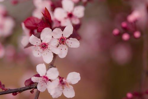 Fotos de stock gratuitas de árbol, ciruela, crecimiento, delicado