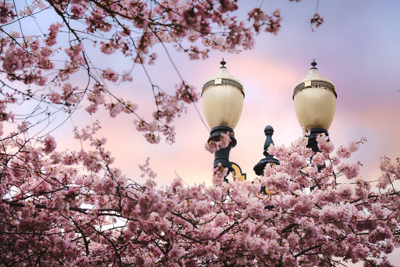 Pink Cherry Blossoms Near Light Posts