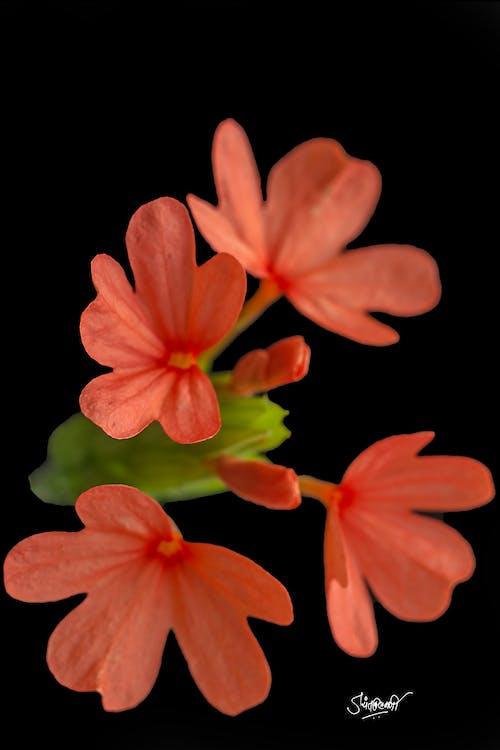 Immagine gratuita di aboli, fiori