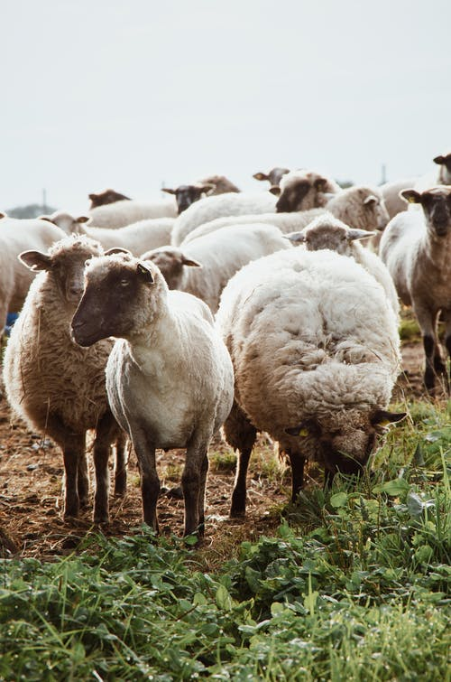 Herd of sheep on pasture in countryside