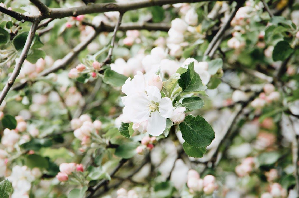 Fragrant white flowers of blossoming sakura tree