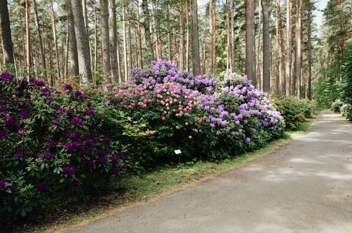 Walking pathway going through beautiful multicolored rhododendron bushes blooming in park in early spring
