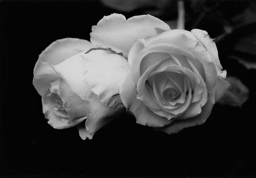 Tender white roses on black background