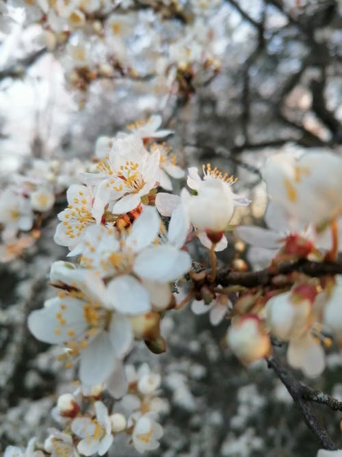 Blooming white apricot tree branch