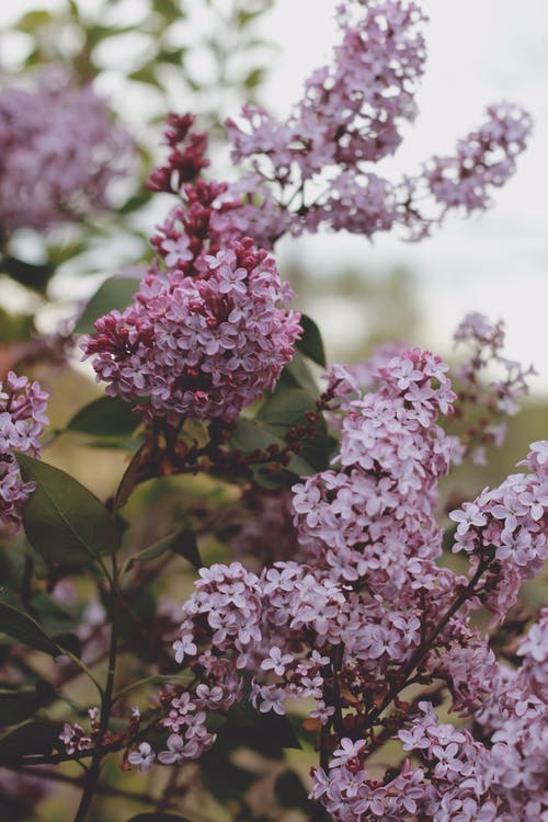 Branches of lilac bush with flowers