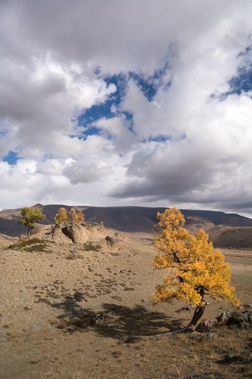 Rare yellow trees in semidesert valley