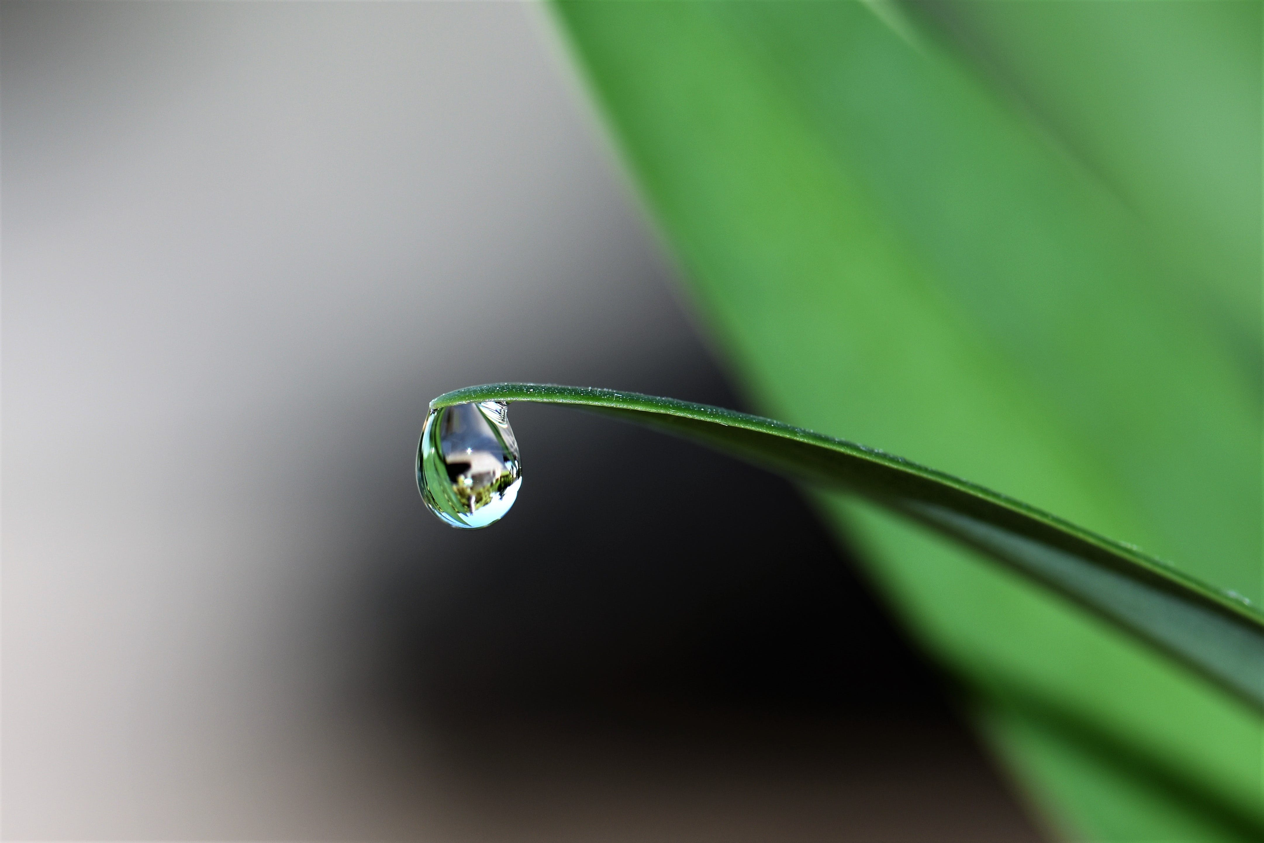 Water Drop at the Tip of a Leaf