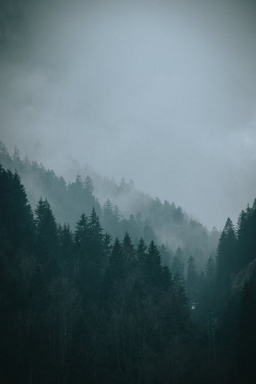 Coniferous trees in forest under sky in mist at night